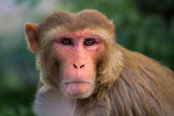 Rhesus macaques are widely used in biomedical research and development.