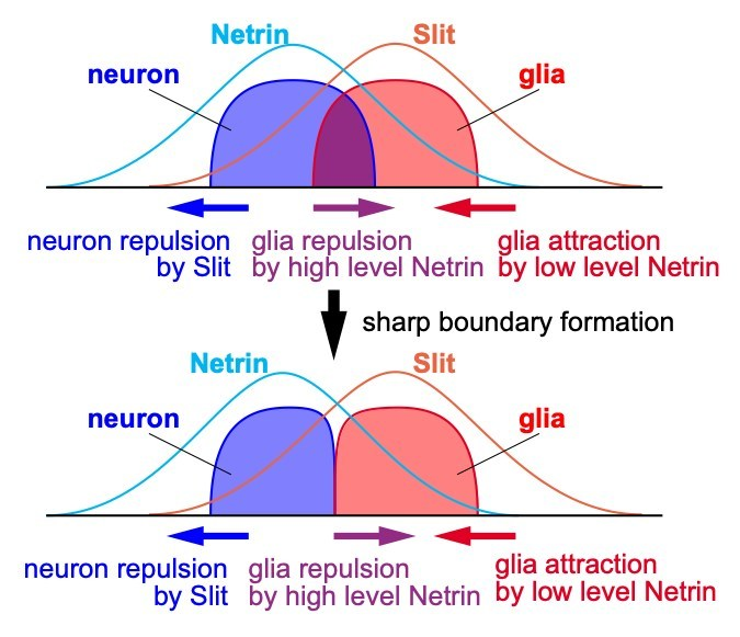 Boundary formation by dual action of Netrin. When the glial cell cluster is distant from the neuron cluster, glia is attracted to neurons by the gradient of low Netrin concentration (red arrows). When the glial cell cluster overlaps the neuron cluster, glia is repelled by neuron due to high Netrin concentration at the interface (magenta arrows) forming a sharp boundary. (PRNewsfoto/Kanazawa University)