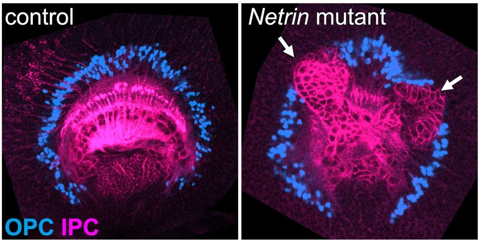 Boundary defect found in Netrin mutant brain. In the control brain (left), the IPC (magenta) and OPC (blue) are clearly separated by a sharp boundary. In the Netrin mutant brain (right), the IPC cells penetrate inside the OPC disrupting the OPC-IPC boundary (arrows). (PRNewsfoto/Kanazawa University)