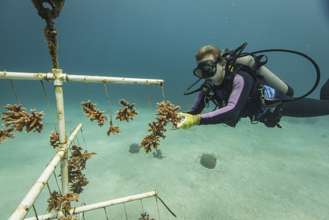 A diver tends to baby corals grown for replanting on damaged reefs (c)TNC/Tim Calver