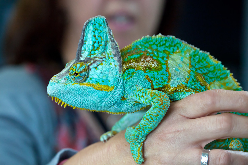 This chameleon is being cared for at the Heathrow Animal Reception Centre after being seized by border authorities. Wild animals belong in the wild, not bought, sold or given as gifts. Photo: Kay Lockett (CNW Group/World Animal Protection)