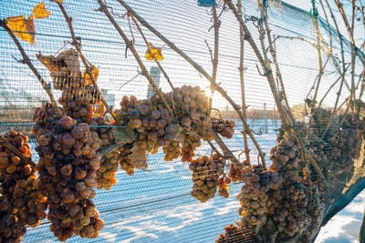 Ontario VQA Icewine on the vine (CNW Group/Wine Marketing Association of Ontario)