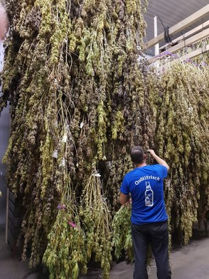 Viridi's Geneva cannabis crop being hang dried (CNW Group/LGC Capital Ltd)