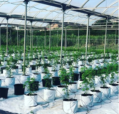 Cannabis planted at Global Canna Labs in Montego Bay, Jamaica (CNW Group/LGC Capital Ltd)
