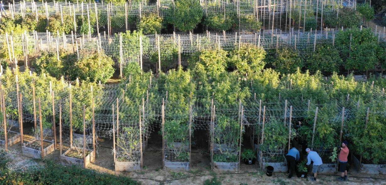 Grown Rogue outdoor cultivation produced record levels of high THC above 35% in Oregon (CNW Group/Grown Rogue)
