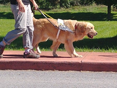 Golden retriever is one of the most common breeds used by Canadian Guide Dogs for the Blind. (CNW Group/Canadian Guide Dogs for the Blind)
