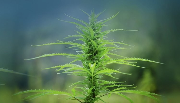 Province Brands of Canada — the Canadian company developing the world's first beers brewed from the cannabis plant — today announced it signed a Letter of Intent with the Canadian Hemp Farmers Alliance (CHFA), establishing CHFA as a supplier of hemp stalks to Province Brands. (CNW Group/Province Brands of Canada)