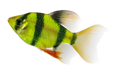 New GloFish® Electric Green® Long-Fin Barbs have vivid fluorescent color and bold stripes.