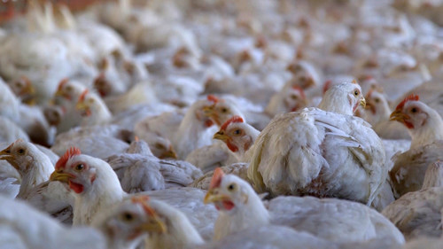Meat chickens in a commercial indoor system.  Credit: World Animal Protection (CNW Group/World Animal Protection)