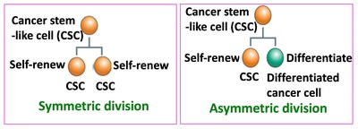 Cancer stem-like cells (CSCs) undergo two types of cell division. CSCs can self-renew and differentiate. Two types of cell division can occur: symmetric or asymmetric. In the former, two self-renewing CSCs are generated; in the latter, only one (and a differentiated cell) (PRNewsfoto/Kanazawa University)