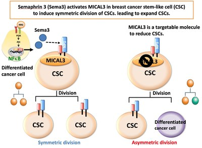 Sema3 activates MICAL3 in breast CSCs and induces symmetric division of CSCs, leading to expand CSCs. MICAL3 is a targetable molecule to reduce CSCs (PRNewsfoto/Kanazawa University)