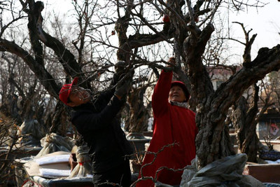 On December 13, 2018, landscape gardeners at a miniature pomegranate grove in Yicheng District, Zaozhuang, creatively pruned their expansive pomegranate miniature landscape. Yicheng is the famous hometown of pomegranates in China, with an annual yield of over 100 million kg of fresh pomegranates.