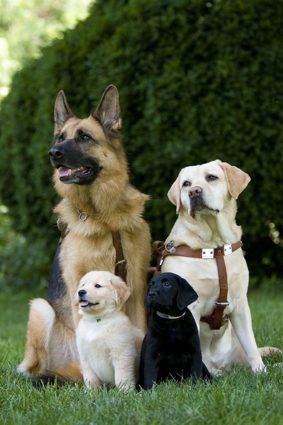The Seeing Eye celebrates its 90th anniversary in January. The non-profit breeds, raises and trains German shepherds, Labrador retrievers, golden retrievers (shown) to guide people who are blind and visually impaired.
