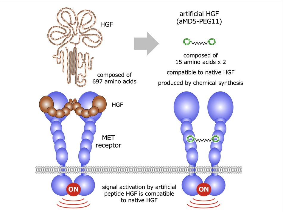 HGF (Hepatocyte Growth Factor) is a bioactive protein which exerts biological activities through the binding and activation of the MET transmembrane receptor. (PRNewsFoto/Kanazawa University)