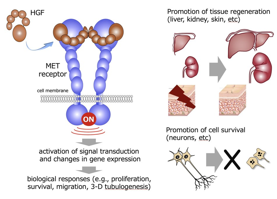 HGF activates MET receptor and activation of MET receptor triggers intracellular signaling leading to the enhancement of cell division, migration, survival, and 3-D tubulogenesis (PRNewsFoto/Kanazawa University)