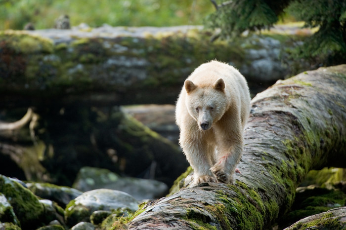An all-white spirit bear crosses a mossy log in the Great Bear Rainforest. The film Great Bear Rainforest opens at the Ontario Science Centre on February 15, 2019. (CNW Group/Ontario Science Centre)