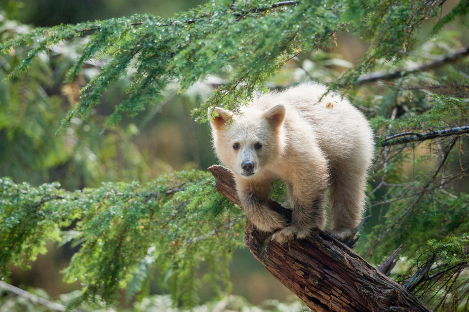 An all-white spirit bear cub perches on a tree branch in the Great Bear Rainforest. A black bear with a recessive gene that turns its fur white, the spirit bear has excellent tree climbing skills. The film Great Bear Rainforest opens at the Ontario Science Centre on February 15, 2019. (CNW Group/Ontario Science Centre)