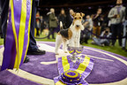 And The Winner Is… The Wire Fox Terrier!