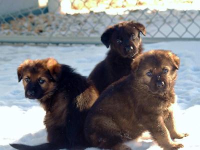 Ces trois chiots sont nés dans la première portée de 2019 au Centre de dressage des chiens de police. (Groupe CNW/Gendarmerie royale du Canada)