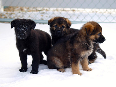 Three German Shepherd puppies in the snow. (CNW Group/Royal Canadian Mounted Police)
