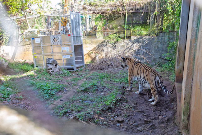 Tiger recently being rescued from a typhoon-destroyed zoo in Saipan.