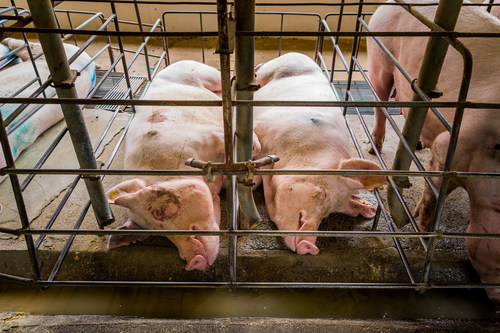 Pregnant pigs live in cramped cages (gestation crates) where they can barely move with no stimulation or social interactions. This causes painful physical ailments and severe stress. But these crates are still used in many parts of the world, including Canada. Photo: World Animal Protection (CNW Group/World Animal Protection)