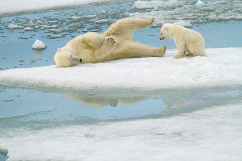 Polar bear mom and cub play on Arctic sea ice. Photo by Kt Miller. (CNW Group/Polar Bears International)