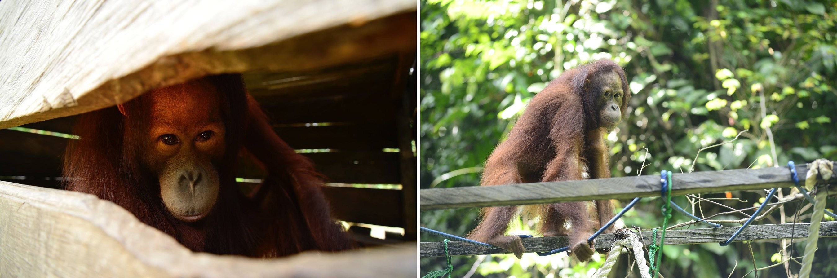 Berani, a male Borneo orangutan, was malnourished, dehydrated and found cramped in a small, dark crate (left); he was rescued by The Orangutan Project partners at Centre for Orangutan Protection from a Kalimantan village in October 2018, and was sent directly to the COP Borneo Rescue Centre, where he received urgent medical care and is now attending forest school rehabilitation to prepare him for eventual release into protected habitat (right).