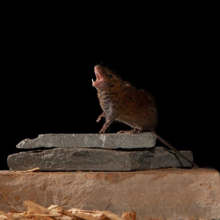 Singing mice provide good model for the study of how the brain achieves conversation.