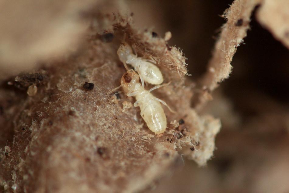 Las termitas invaden las propiedades incursionando desde sus colonias en busca de fuentes de alimento y encuentran los cimientos de las viviendas.