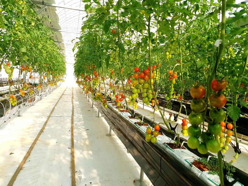 Selenium tomatoes