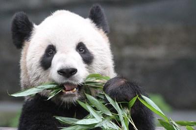 Calgary Zoo Panda: Er Shun (CNW Group/Calgary Zoo)