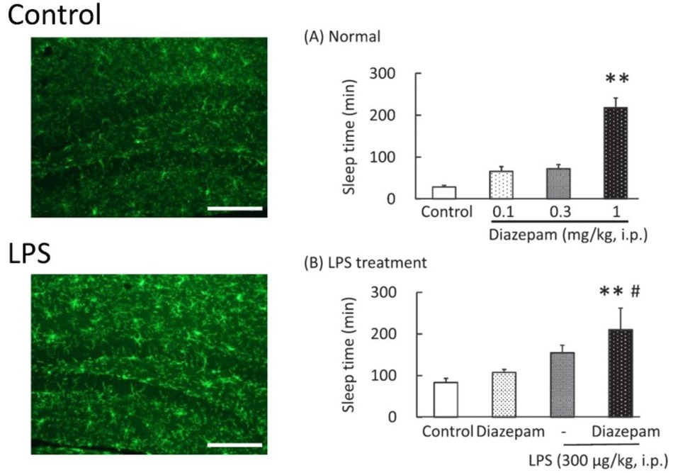 The bacterial toxin (LPS) activates microglia in the brain (observed by a brighter green signal), suggesting that inflammation was set in motion (left).