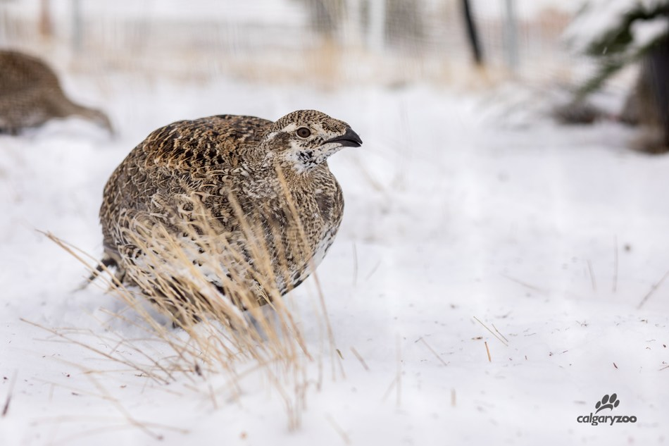 Calgary Zoo: Greater Sage-Grouse Release (CNW Group/Calgary Zoo)