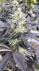 Cannabis flower at 3 Boys Farm, Florida (CNW Group/SOL Global Investments Corp.)