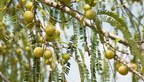 Study Confirms Beneficial Effect of Tri-Low® Full Spectrum Amla Extract Upon Dyslipidemia