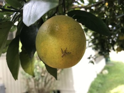 The Mexican Fruit Fly threatens citrus