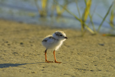 Piping plover chick. Piping plovers are currently listed as endangered in Ontario. This means they are facing imminent extinction or extirpation. (CNW Group/Ontario Nature)