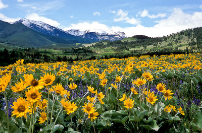 Bask in the vibrant blossoms of spring wildflowers in Montana. (Photo Courtesy: Visit Montana)