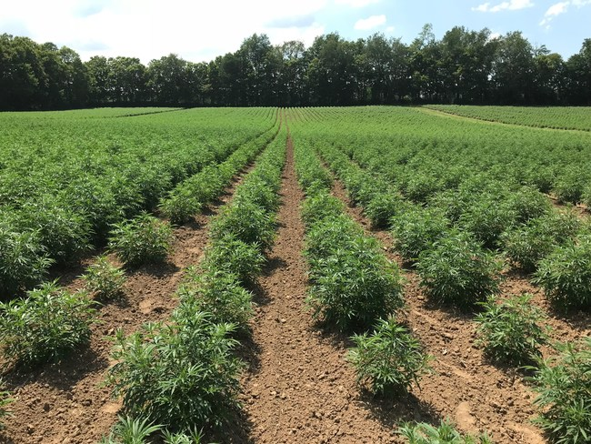 HempLogic Clones, Seedlings and Genetics
