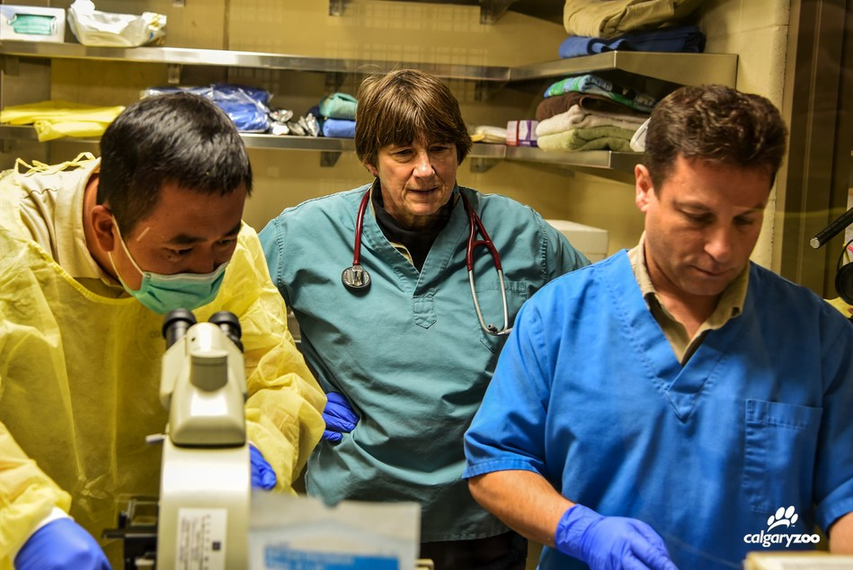 Calgary Zoo team collaborating with a specialist from China to artificially inseminate the giant panda - Er Shun. (CNW Group/Calgary Zoo)