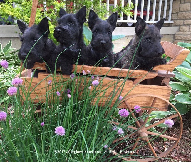 Four of Afterglow's Scottish Terrier puppies at home in Granville, Ohio
