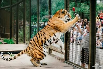 Tiger Training - Calgary Zoo (CNW Group/Calgary Zoo)