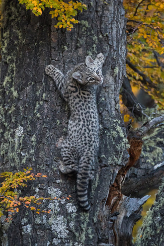 Extremely rare Geoffroy's Cat photographed at Awasi Patagonia by Eduardo Minte Hess.