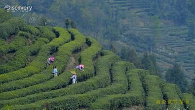 Discovery walks into Emei Alpine Green Tea producing area