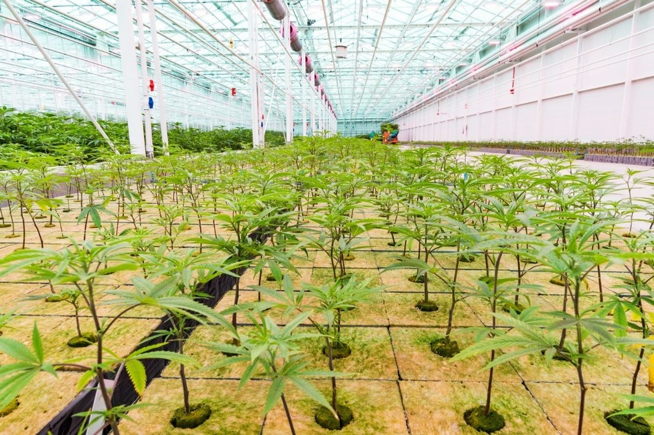 Fully populated Vegetative Zone One. Image taken on April 16, 2019. (CNW Group/Flower One Holdings Inc.)
