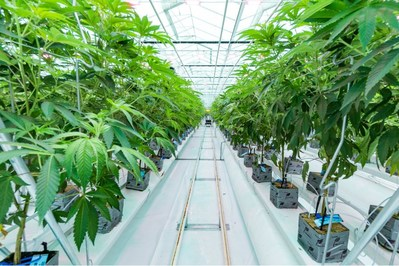 Flower Zone One fully canopied.  Image taken on April 16, 2019. (CNW Group/Flower One Holdings Inc.)
