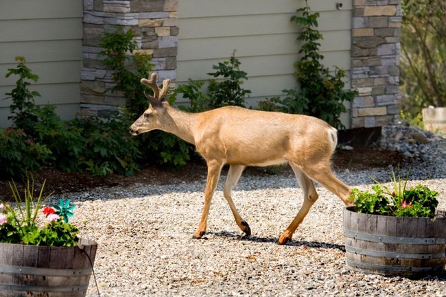 When you see deer outside, its probable ticks hitched a ride and will stay behind when the deer move on