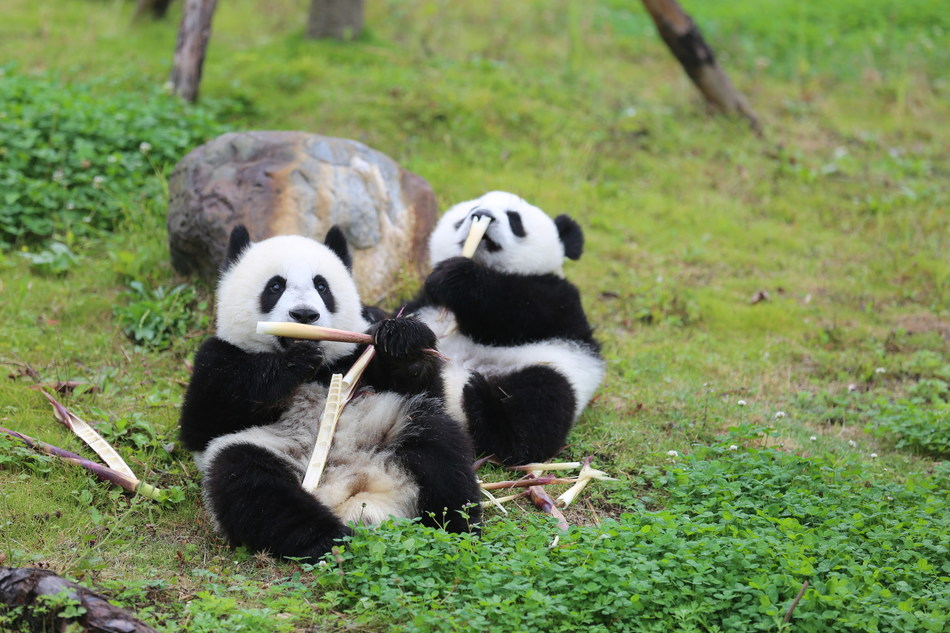 Pandas from Sichuan Wolong National Nature Reserve