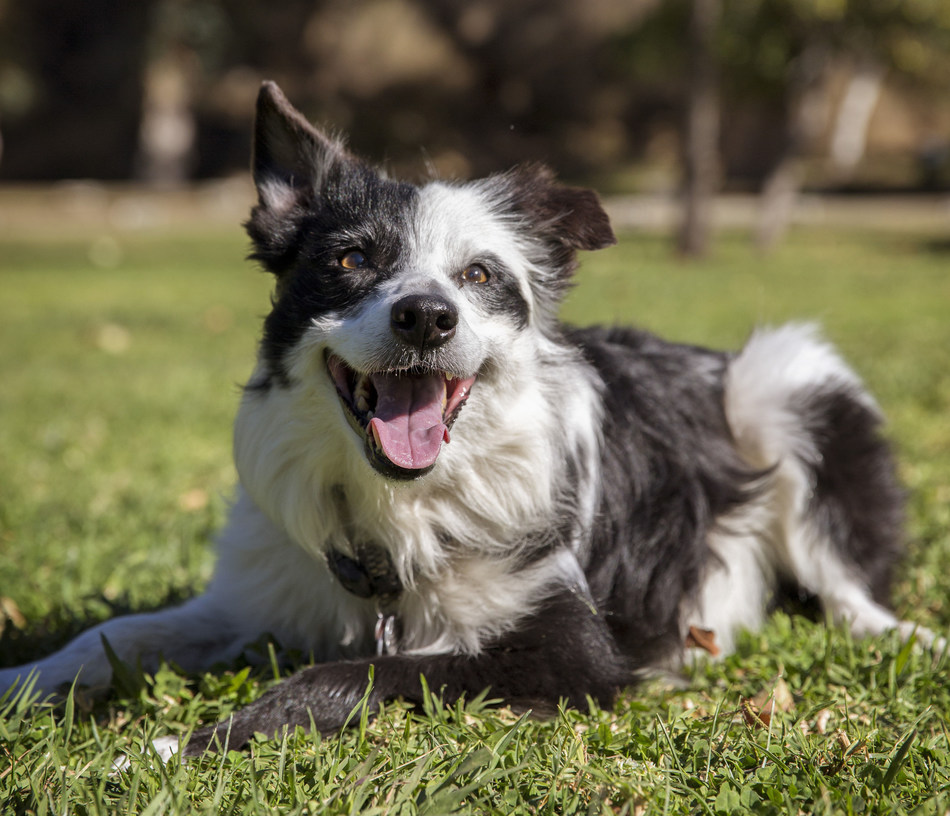 """""""When the doctor said Kiss is cancer free, it was one of the best days ever!"""" said Jane, Kiss' Pet Parent. Kiss was treated through the Pet Partners Pet Cancer Treatment Fund for therapy pets thanks to support from the Petco Foundation's Pet Cancer Campaign."""
